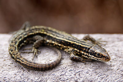 TheJungleStore.com Blog | Viviparous Lizard