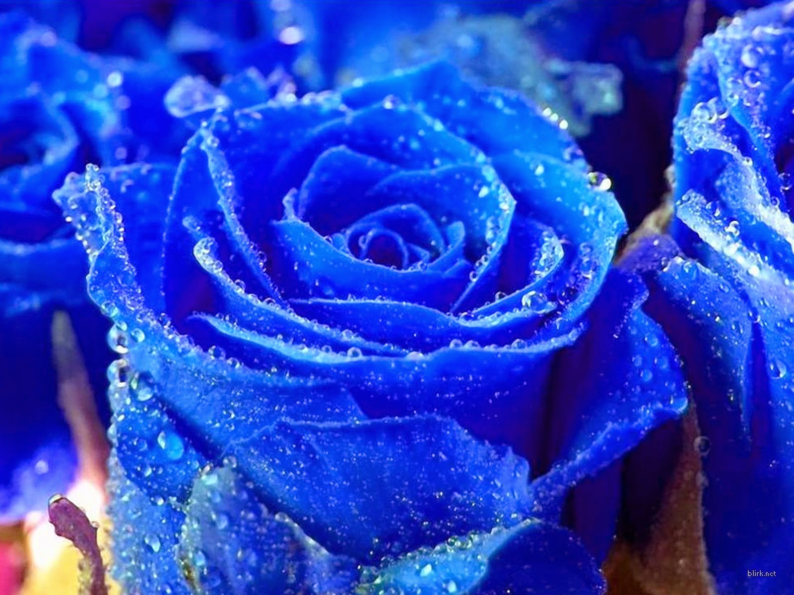 Here You See The Blue Rose Wallpapers These Flower Are Attractice And Decent For Lover Its Show Deep Friendship Both Lovers