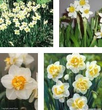 Beautiful White Narcissus Flower