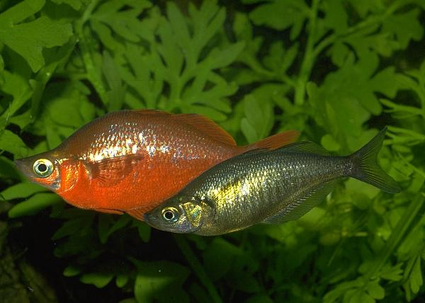 INDONESIAN FRESHWATER FISH COMMUNITY - IFFC: 9 Species of Family ...