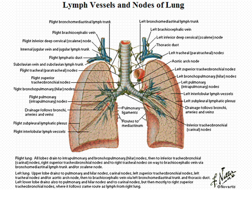 Mbbs Medicine Humanity First Lymph Vessels And Nodes Of Lung
