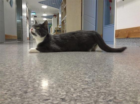 Hanna-kissa on vanhusten dementiayksikön nelijalkainen hoivatyöläinen