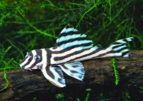 Cascudo Zebra Imperial