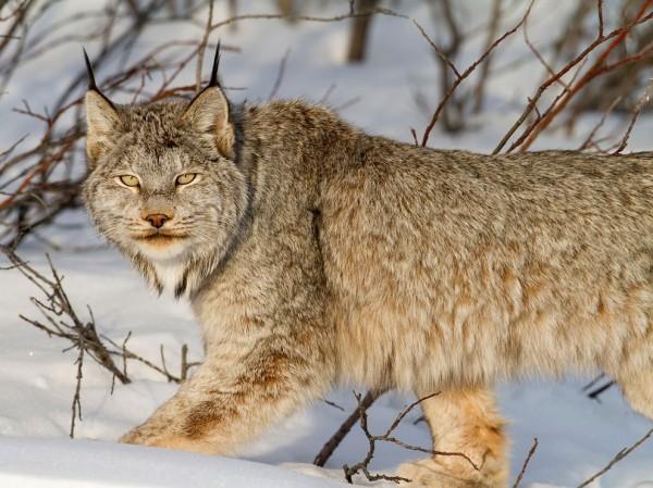Canadian Lynx, Yukon Territory