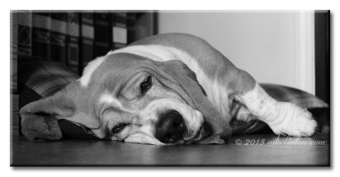 Very tired Basset Hound in B&W
