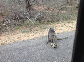 Rondom Skukuza speelt moeder aap klaar-over voor het brutale aapje dat zonder op te letten de weg over wil steken.