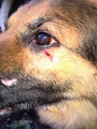 German Shepherd has mystery wound