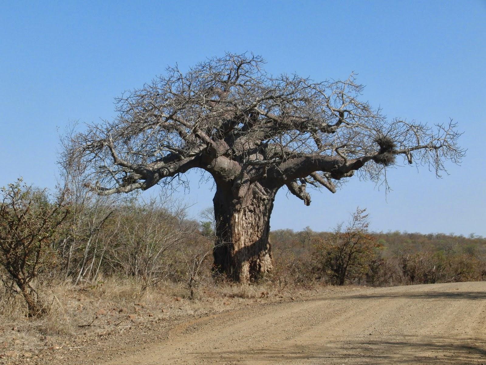 mischas reiseseite ein baum aus der urwelt der baobab. Black Bedroom Furniture Sets. Home Design Ideas