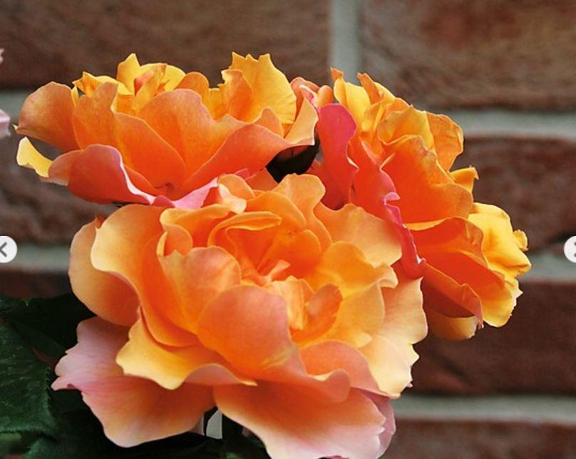 El jard n de la alegr a de compras rosales habas y - Vivero la rosa del norte ...