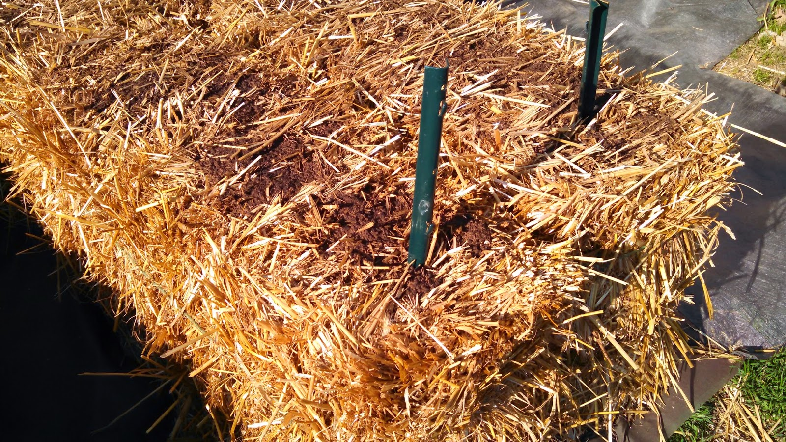 Day 3 of Conditioning the Bales- Before Adding More Fertilizer