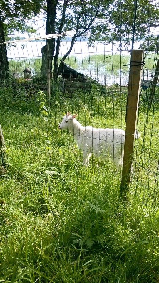 Goats in Kivinokka | Alinan kotona blog