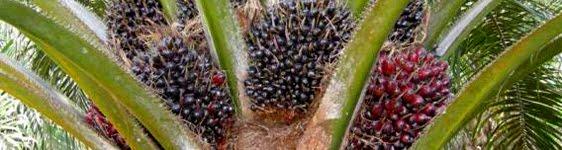 Huile de palme bio rspo+poig