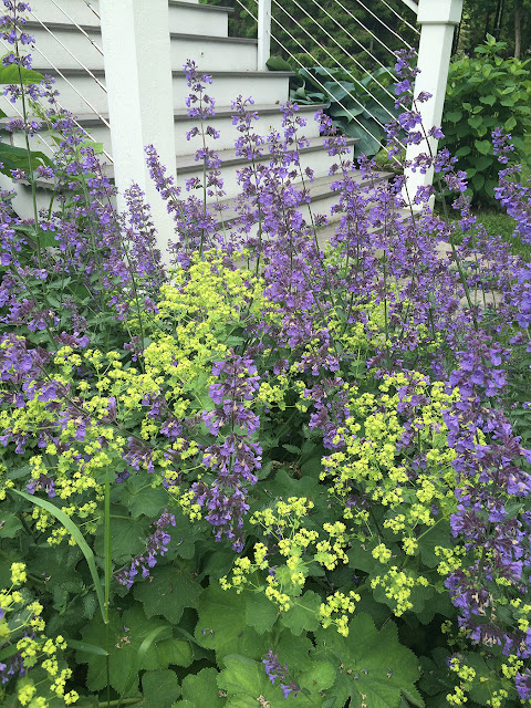 lady's mantle and nepeta comingling