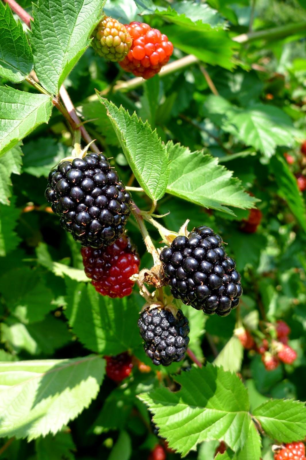 Thornless Blackberries, Edible Landscapes in Rhode Island