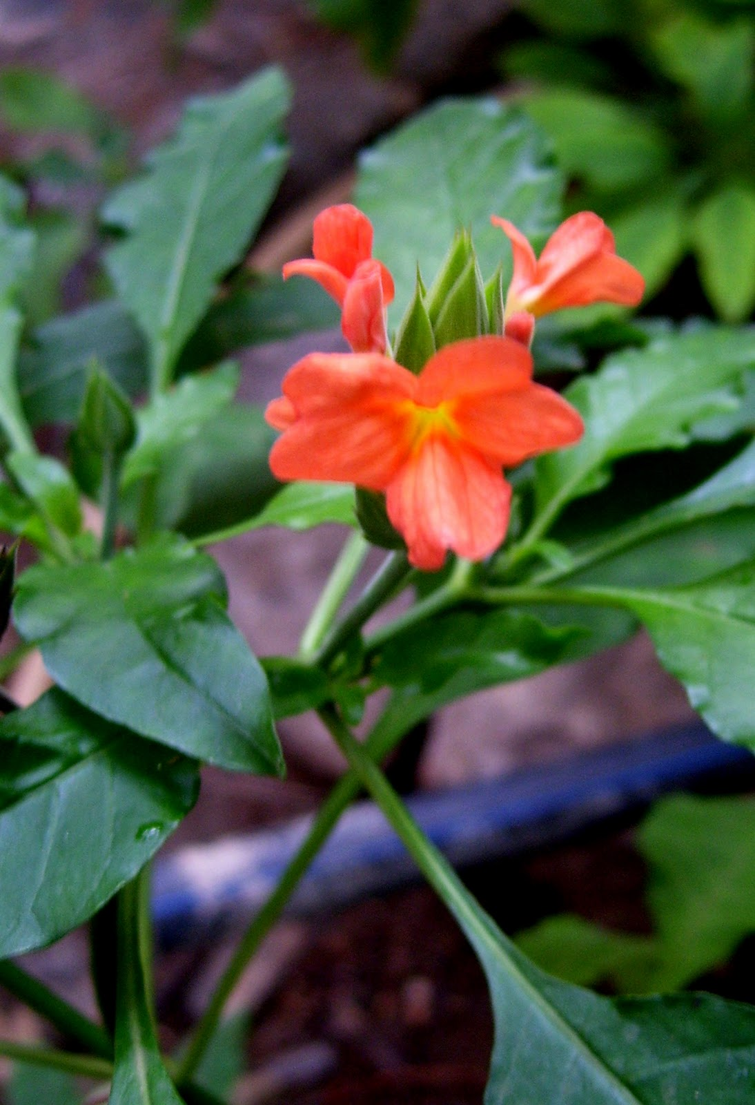 Bloom few flowering plants in my garden english firecracker flower tamil kanakambara description the crossandra is in the family with mexican petunias or ruellias izmirmasajfo