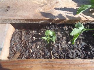 cilantro pallet garden