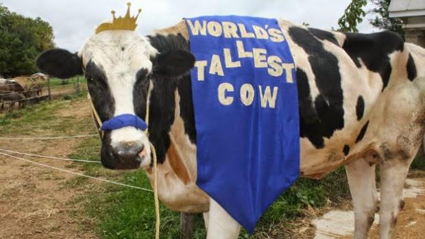 sapi tertinggi dan besar di dunia