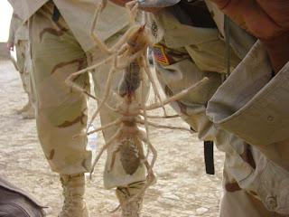العنكبوت الذي أرعب الأمريكان في العراق
