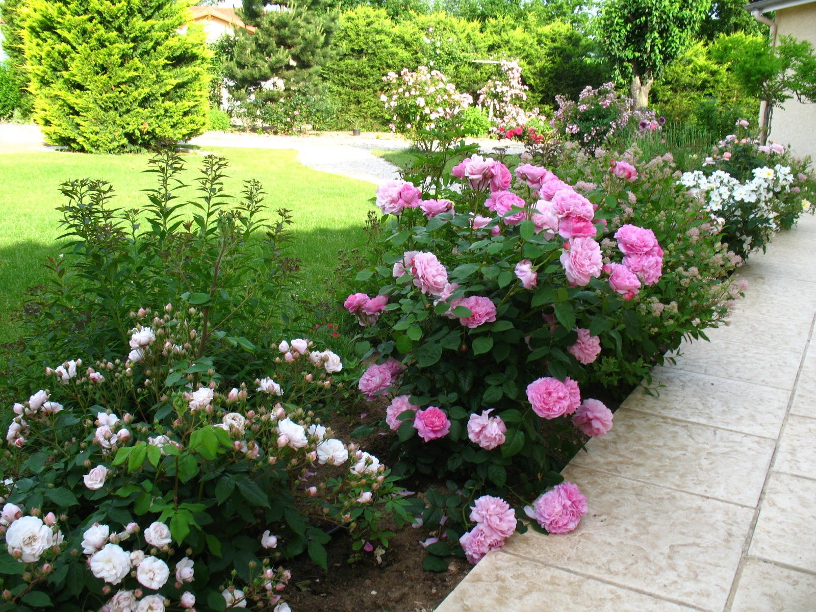 Roses du jardin ch neland rosier mary rose for Rosier grimpant pour mi ombre