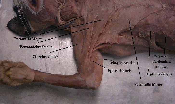 Enciclopedia de animales: Sistema muscular del gato. Anatomia-on line