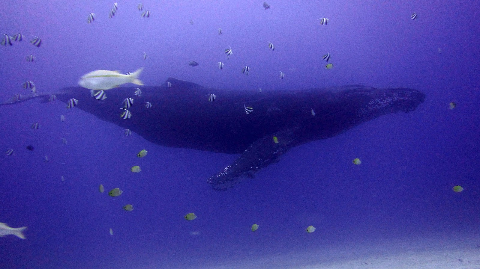 Humpback whale - Oahu scuba diving