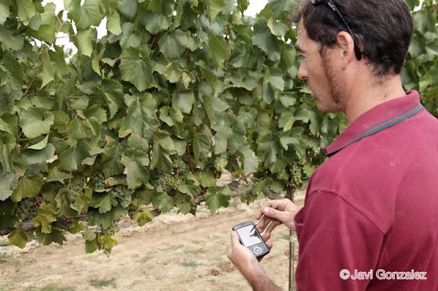 La vendimia en Raimat, Lleida