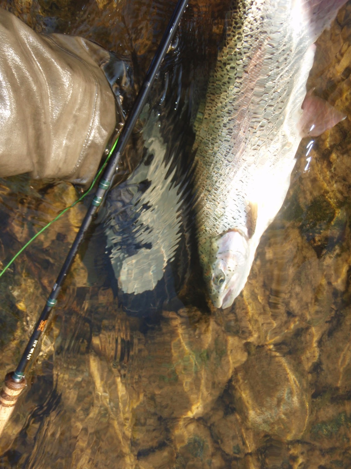 Spring Run California Steelhead Fresh And Ready Please Fly
