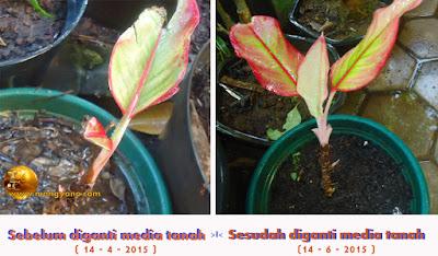 Dalam waktu 2 bulan saja sudah terlihat perbedaannya, dengan munculnya daun - daun muda