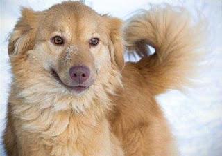 Рыжая собака