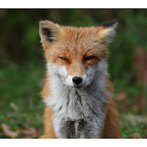 Disgruntled Fox