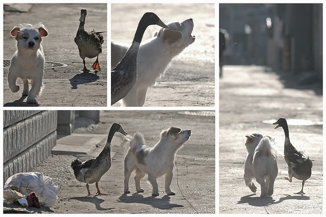 Funny animals of the week - 7 March 2014 (40 pics), duck and dog best friends