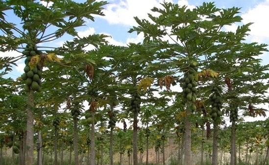 Orto per tutti piante da frutto esotiche for Piante da frutto