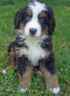 Bernese Mountain Puppy 1