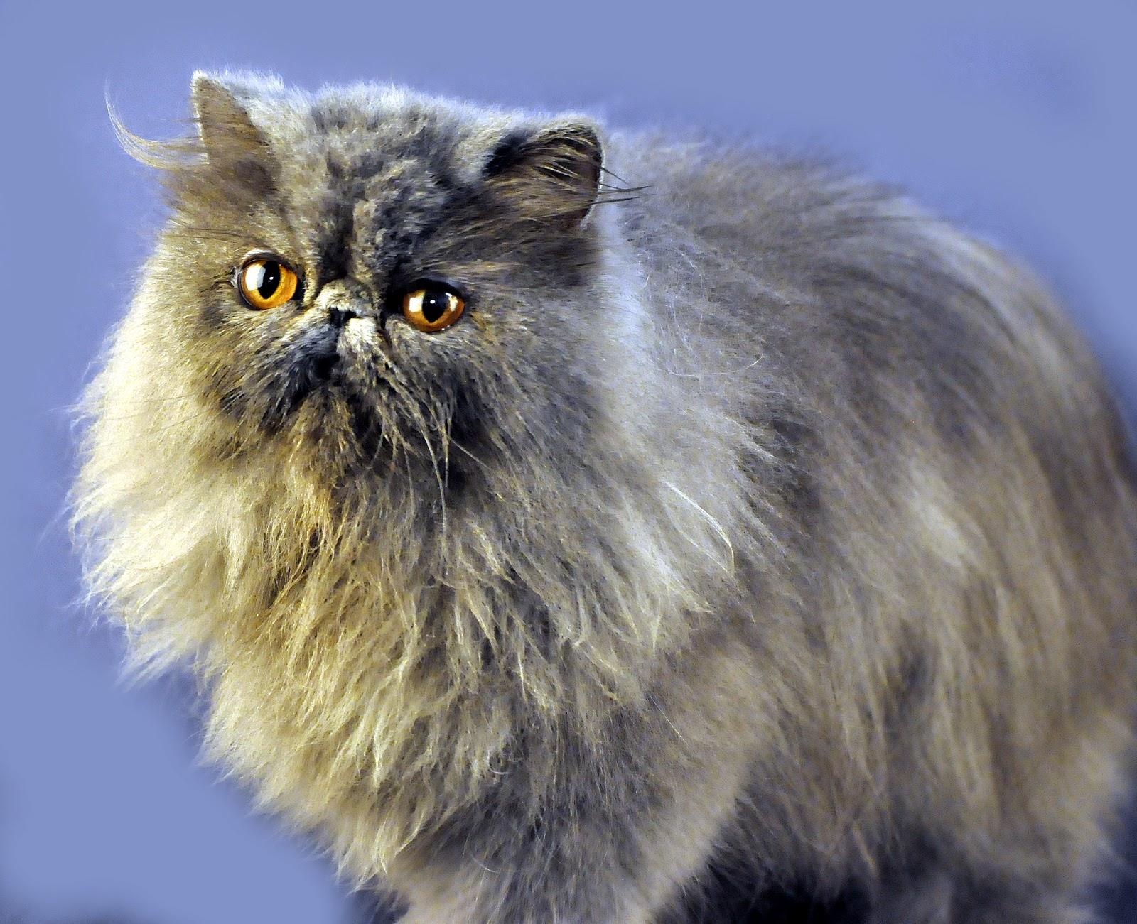 Aneka Kucing Ras Yang Paling Banyak Disukai Info Kucing Persia