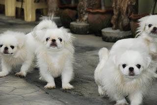 Pekingese Puppy Picture