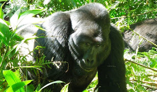 "5 days Rwanda luxury gorilla tour golden monkeys visoke,  rwanda gorilla golden monkeys visoke treks, 5 days gorilla tour rwanda, luxury safari rwanda, visoke hike, golden monkeys rwanda,primates tour rwanda cheap Gorilla trek Rwanda,mid-price Rwanda gorilla tour, gorilla safari, budget tour rwanda, Rwanda, rwanda tour operator, rwanda tour company, gorilla tour agent, gorilla, ""/>"
