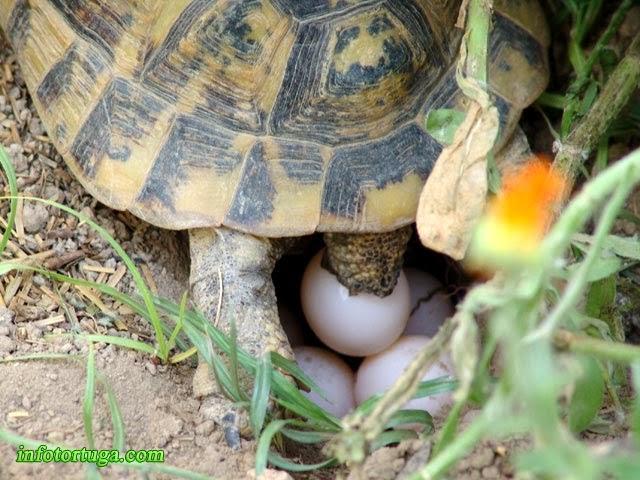 Puesta de huevos de una tortuga mora