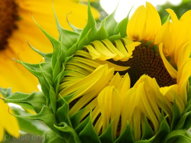 large yellow sunflowers