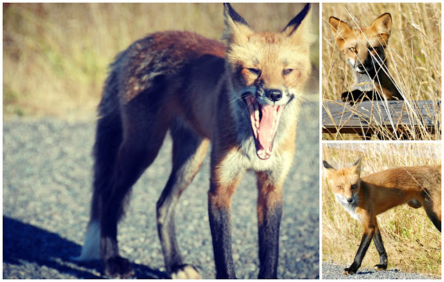 wild fox photos on san juan island, washington