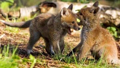 Zorros pequeños jugando