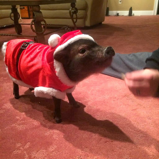 Funny animals of the week - 27 December 2013 (40 pics), pig wears santa costum