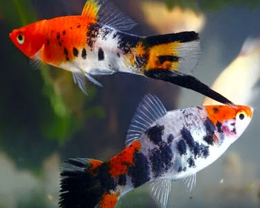 Finatics tropical fish fish ready for sale today 8 15 14 for Japanese koi fry for sale