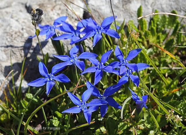 Gentiana orbicularis in Austria