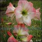 Açucena ou Amarilis ou Flor da Imperatriz. Exuberante e fugaz.