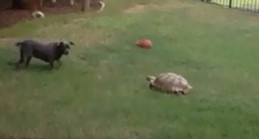 Pit Bull Terrier and Sulfate Tortoise Playing Chase (Video)