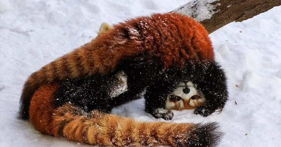 Red panda playing in snow