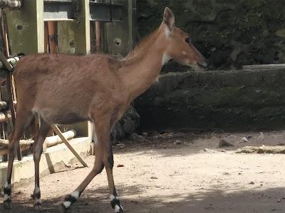 foto nilgai antelope 03