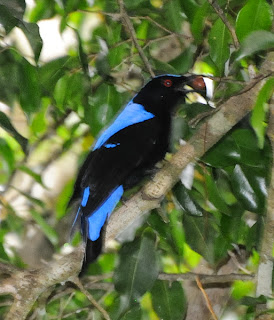 Asian Fairy Bluebird (Irena puella)