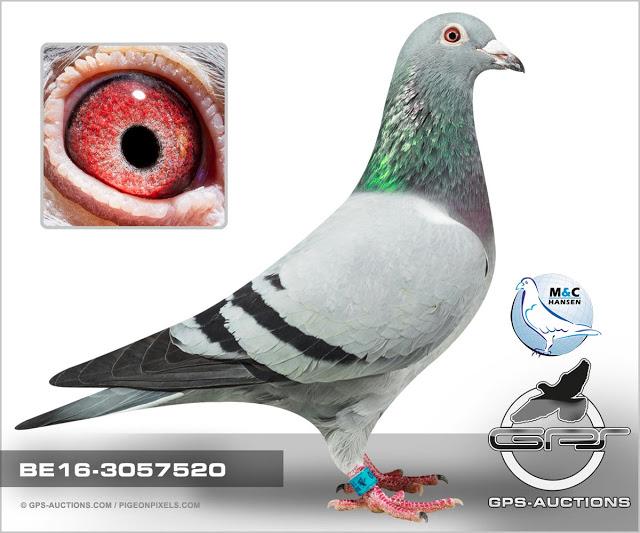 Inbred Blauwe Gert x Loocks duivin