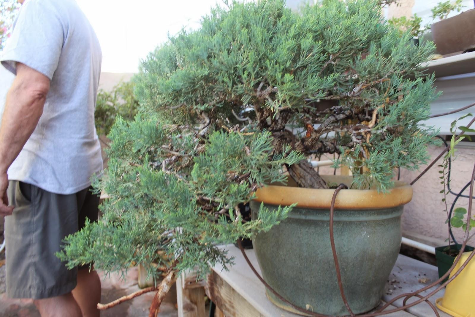 Las Vegas Bonsai 26 October Giant Juniper Repot
